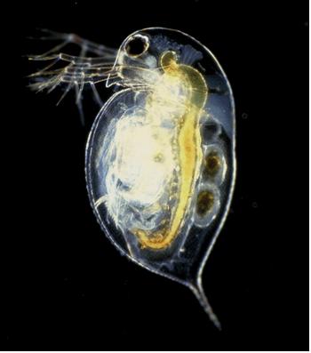 Water flea (Daphnia pulex)
