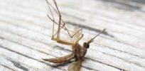 DeadMosquito