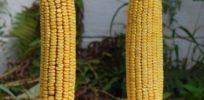 GMOexperiment x