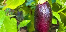 gmo eggplant