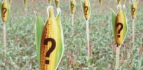 greenpeace marks a maize field