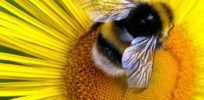 Bumblebee Populations Are Shrinking