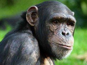 chimp 12 14 17 2