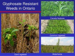 glyphosate-resistant-weeds-in-ontario-2016-1-638