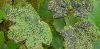 Aceraceae Plant diseases