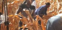 Workers harvesting the GM maize at the field trial in Kiboko