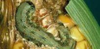 earworm feeding e