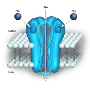 nicotinic receptor by toonertoons
