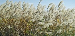 Winter harvest? Russian grass genes could hold key to developing cold-tolerant corn, sugar cane
