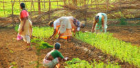 India Goa Women planting e