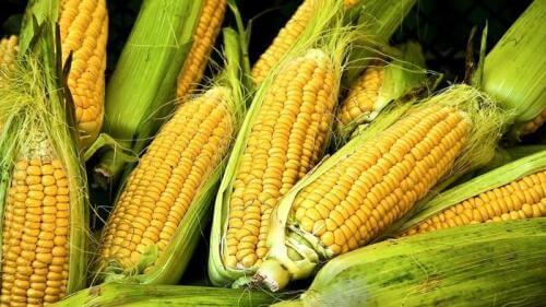 gmo corn after