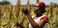 sorghum farmers in kenya FARMERS TREND