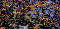 Study challenges belief that milkweed is sole cause of monarch butterfly declines