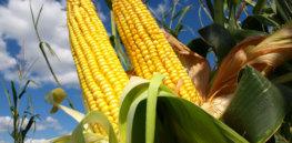corn farm wallpapers wide