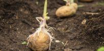 seed potatoes hero