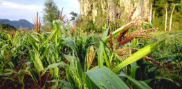 'This seed is ours': Cuba poised to grow locally developed, insect-resistant GM corn to mitigate effects of climate change