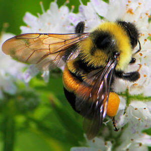 rusty patched bumblebee e