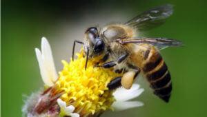 wild bee on flower x