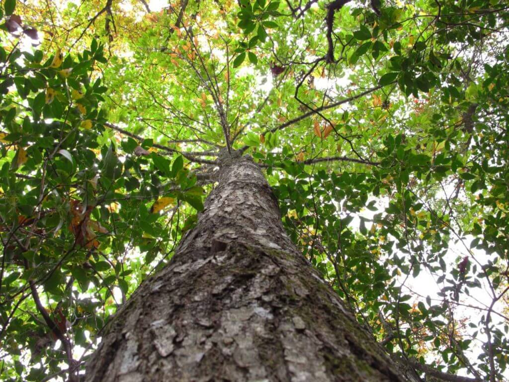 American chestnut allen breed ap