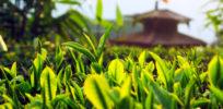 Niroulas Tea Farm