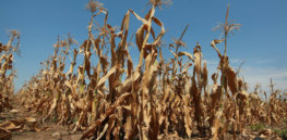 Kansas Drought Corn