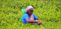Opposition to Sri Lanka's glyphosate ban grows as tea farmers turn to alternate pesticides