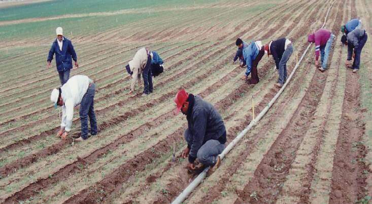 hand weeding in california