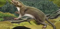 Rodent-like creature may be our earliest ancestor