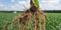 Corn SidewallCompaction