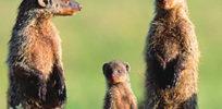 ca f c mongooseledeinvasivespecies xl e