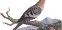 px Ectopistes migratoriusFCN P CA