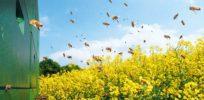 bee colonies in an oilseed rape field x