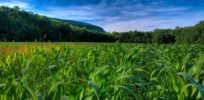 downloadfiles wallpapers corn fields wallpaper plants nature