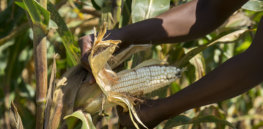 dt corn