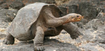 galapagos tortoise large ngsversion