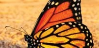 New data, novel research approaches help tackle declining monarch butterfly mystery