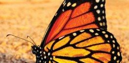 monarchbutterflyv jpg