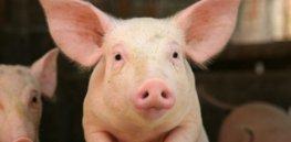 pig size custom crop x