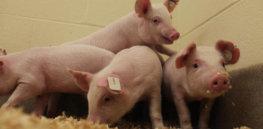 pigs virusresistance