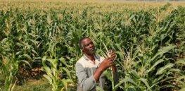 south africa corn