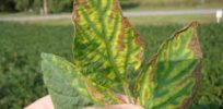 sudden death symptoms soybeans