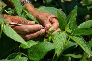 eiy dpo v plant breeding