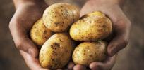 potatoes in hand e