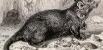 black rat th century engraving spl