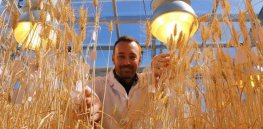 speed breeding wheat