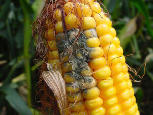 corn damage