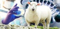 Sheep liver