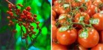 Wild Tomatoes Collage x