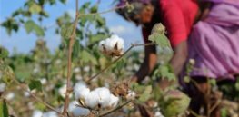 cotton india b
