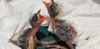 HW akiki chickfeed